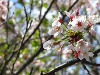 Närbild på blommande körsbärsträd
